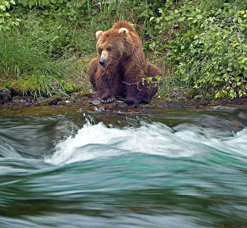 Grizzly waits for a salmon